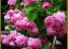 Óleo de rosas